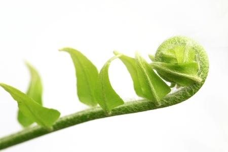 Fronde nouvel arbre foug�re, koru symbole accent est mis sur le centre de la fronde