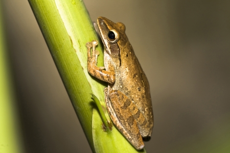a tailless amphibian with a short squat body, moist smooth skin, and very long hind legs for leaping Stock Photo - 13126551