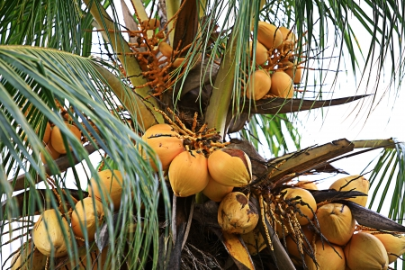 Upward view of green coconuts in palm tree