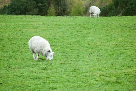 troupeau de moutons, Blackburn, Royaume-Uni