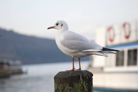 Curieux Seagull