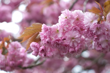 Cherry blossoms in full bloom Stock Photo - 13281812