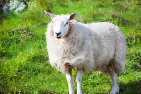 agneau curieux au printemps Banque d'images