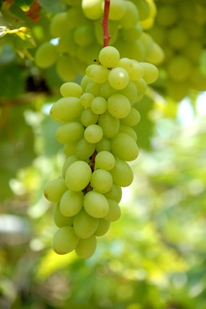 vineyard plain: Fresh grape Stock Photo