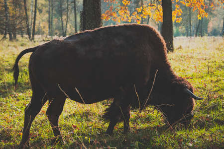 American bison in Oka national park, Russia. Buffalo in autumn forest