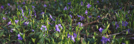 Close up of violet wild periwinkle flowers in spring forest