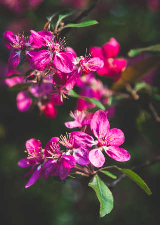 Close up of violet apple flowers with green leaves on dark background. Vertical orientation Фото со стока