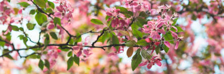 Bright blooming pink apple flowers with green leaves in soft focus on blurred background in spring sunny day. Wide banner format