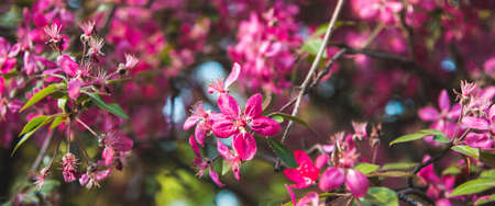 Close up of violet apple flowers with green leaves in spring sunny day. Wide banner format
