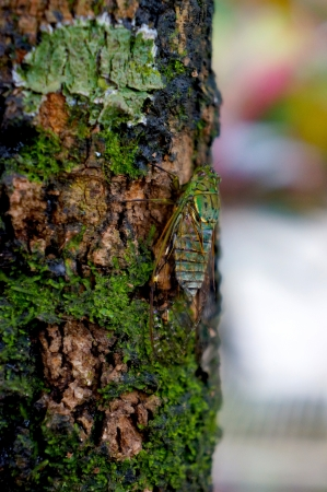 closeup: Camouflage cicada blending against a tree