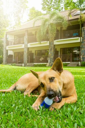 mongrel redhead dog plays on a green lawn in summer on a Sunny clear day, nibbles on a plastic bottle, vertical photo Imagens
