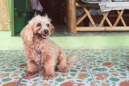 an untrimmed, unkempt apricot-colored dwarf poodle sits and waits for its owner. carefully look close up
