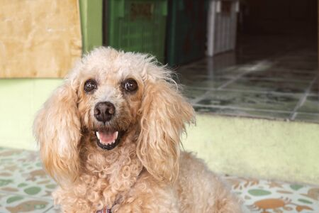an untrimmed, unkempt apricot-colored dwarf poodle sits and waits for its owner. carefully look close up Stock Photo
