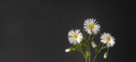 white daisies on a black background. beautiful bouquet of flowers in a vase. vertical simple, stylish and bold still life