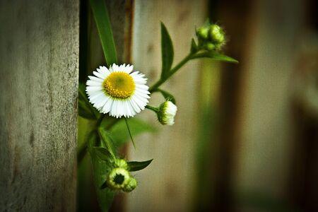 Flores silvestres que asoma de la cerca de madera Foto de archivo - 12477353