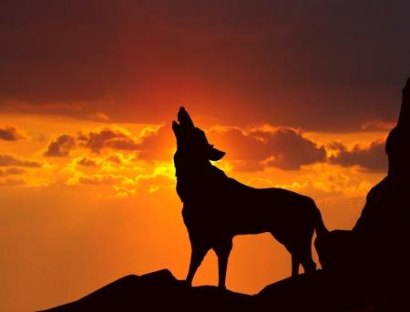 늑대 일몰 짖는 스톡 콘텐츠
