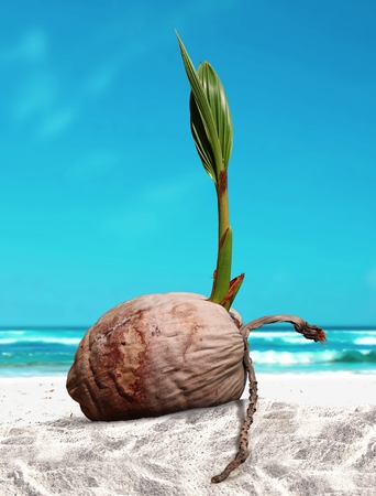 coconut seedlings: Coconut sprout at the beach