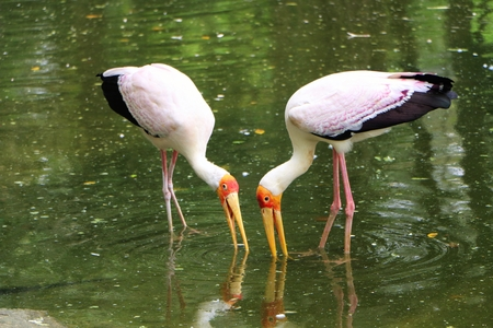 south african birds: Two African yellow billed feeding at the lake