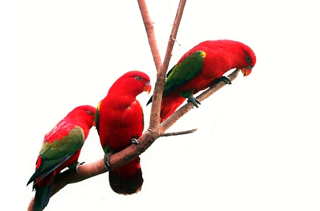 mccaw: Three red bird on three branch Stock Photo