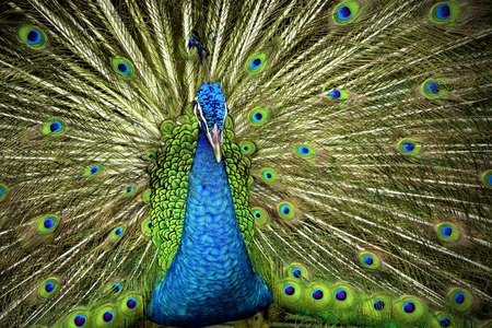 indian blue: Indian Blue Peafowl