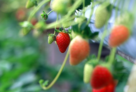 strawberry tree: Strawberry ready for picking Stock Photo