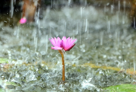 Water lily in the pond with rain drops