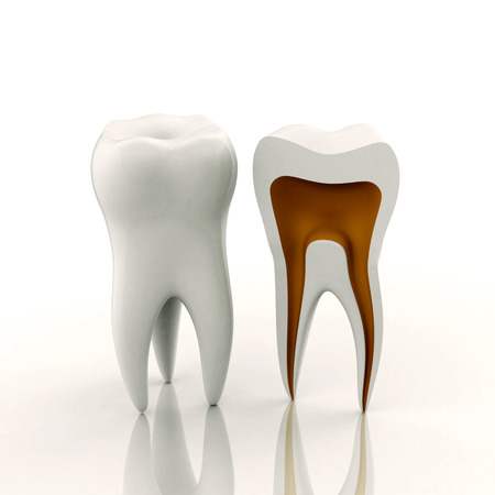 soundness: Two teeth, whole and sliced (medical visualization) 3D rendered on white  background