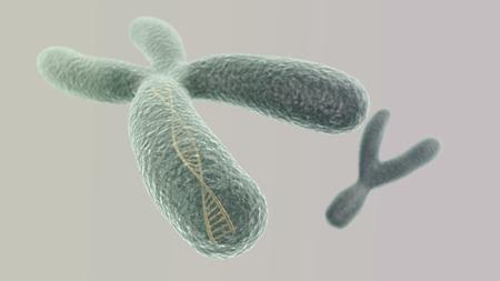 cromosoma: Visualización CGI del cromosoma X con hélice de ADN en el interior e Y (simulación microscopio electrónico) con efecto de enfoque (versión ligera) Foto de archivo
