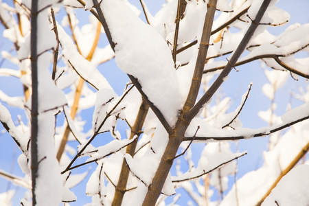 Tree branches covered with snow on sunny day. Optimistic winter background. Minimal.  版權商用圖片