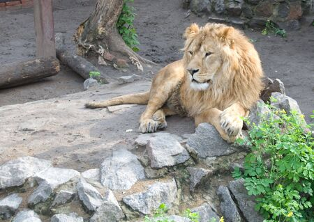 den: Lion laying on the ground