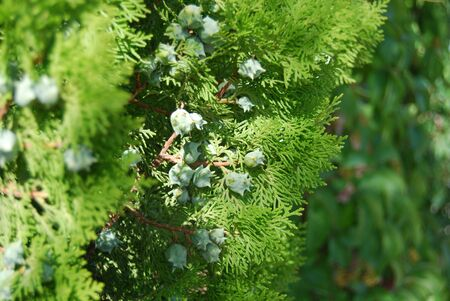 Vibrant green thuja tree with cone fruits