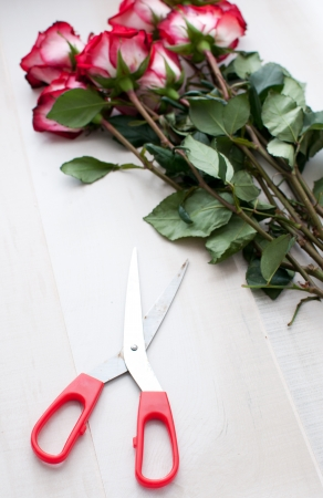 Cut roses and scissors photo