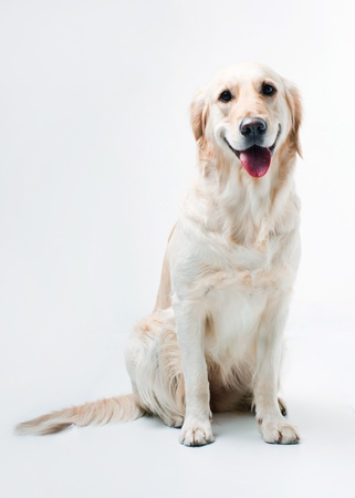 Shot of Golden Retriever on a white background photo