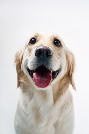 Shot of Golden Retriever photo