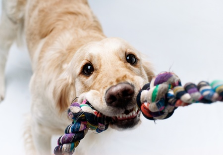 Shot of Golden Retriever playing with rope photo
