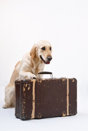 Shot of Golden Retriever with the suitcase photo