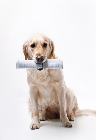 Shot of Golden Retriever with the newspaper Stock Photo