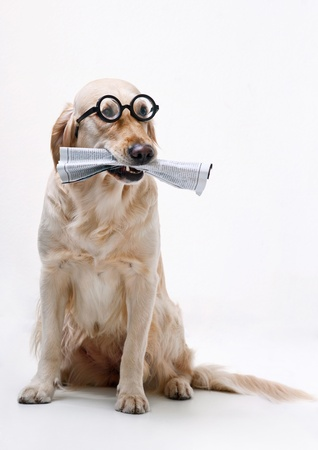 reading glasses: Shot of Golden Retriever with the newspaper Stock Photo