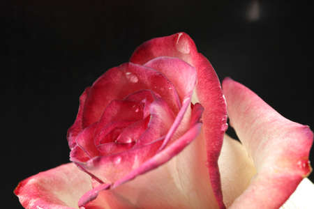 Shot of beautiful pink rose photo