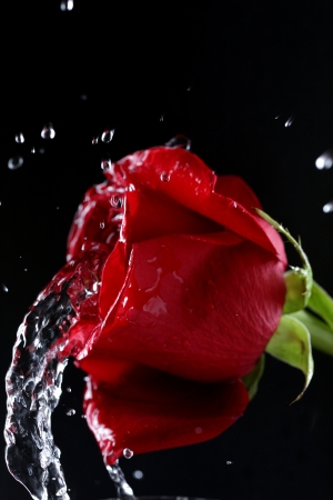 Shot of beautiful red rose photo