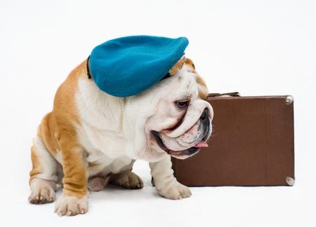 English bulldog with old suitcase Stock Photo