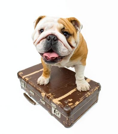 English bulldog guarding old suitcase