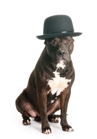 American staffordshire terrier in derby hat