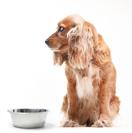 Cocker spaniel with a bowl on the white background