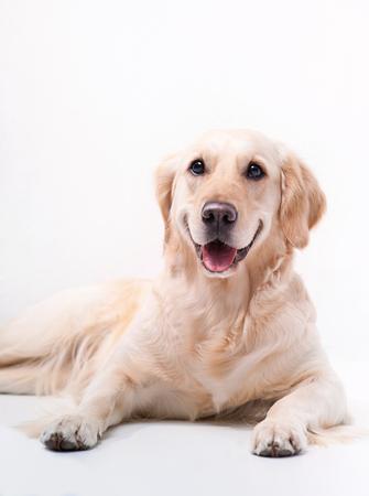 Golden Labrador retriever on white background