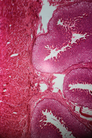 submucosa: Wall of stomach section under the microscope