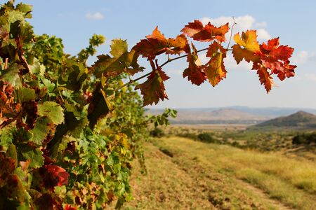 terroir: Vines with red leaves in autumn Stock Photo