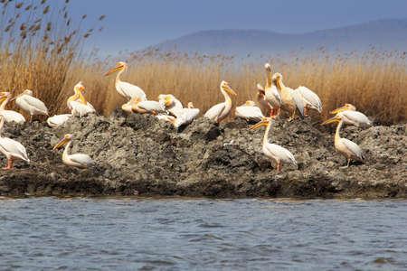 Groep witte pelikanen in de delta van Donau