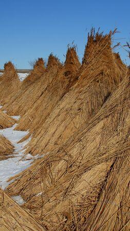 Stapels verzameld riet in de Donaudelta