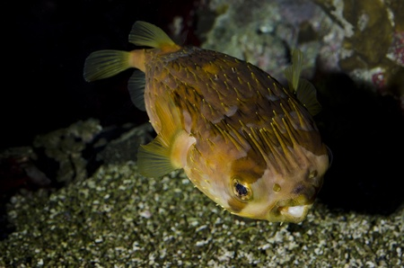 Yelowspotted fish also known as Cyclichthys spilostylus